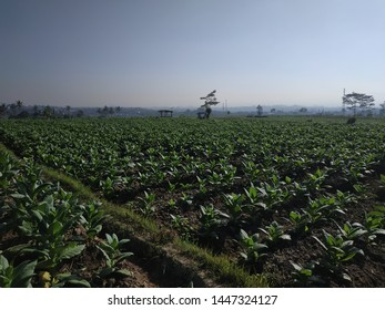 View of young green tobacco plant in field background blue sky