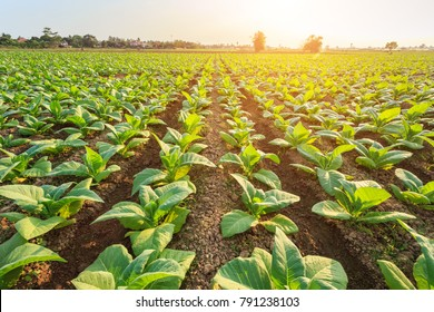 View of young green tobacco plant in field at Sukhothai province northern of Thailand