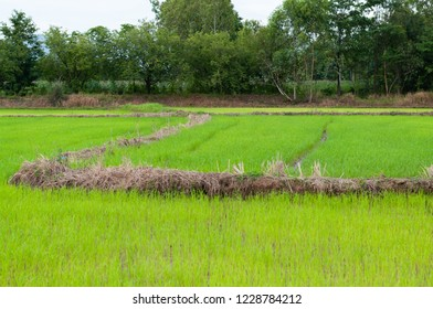 view of young rice sprout field in countryside