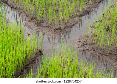 view of young rice sprout,rice field