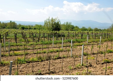 View of the young vineyards in plowed field