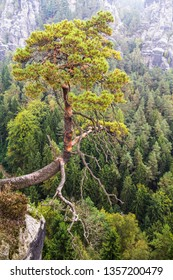 Views of the national park Saxon Switzerland of Bastei. A lone pine tree hanging on a cliff. Germany