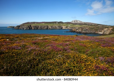 Views from The Range towards Holyhead Mountain in summer with the heather and gorse out