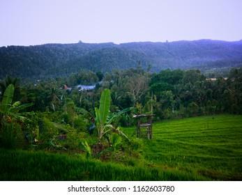 Views Of Rice Fields And Hills At Gunungsari Village, Buleleng, Bali, Indonesia