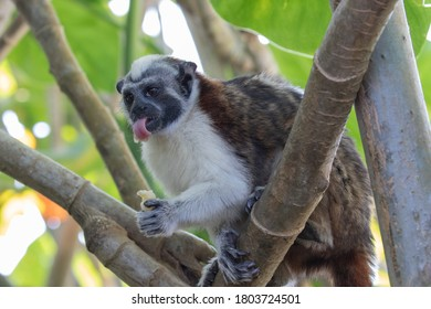 Views of Geoffroy's tamarin monkey (scientific name Saguinus geoffroyi), Panama
