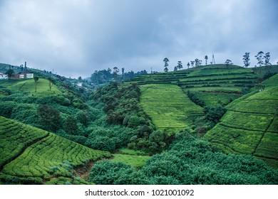 Views of the tea plantations in Nuwara Eliya