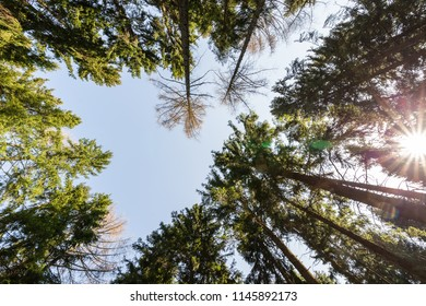 Views to the tree canopy in the coniferous forest