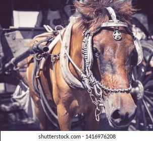 Vigan Kalesa Horse Detailed Closeup