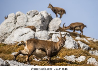 Vigilant Capricorn to protect the group in the montains of the Montasio Massif in the Julian Alps of Northern Italy