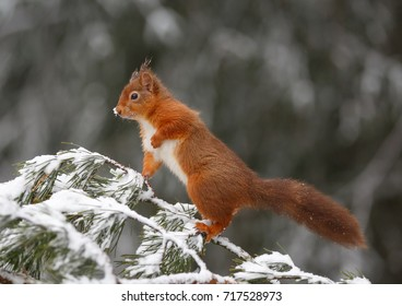 Vigilant red squirrel in forest, Northumberland, England