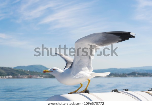 vigilant-seagull-spread-wings-flapped-60