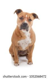 vigilant staffordshire dog isolated in white background