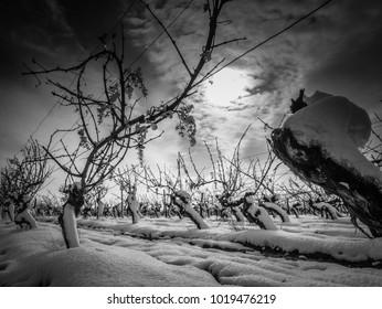 Vignes d'Anjou sous la neige