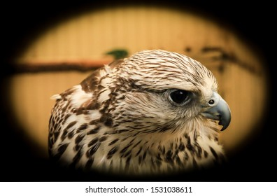 Vignetted close up of a kestrel