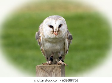 Vignetted image of a common Barn Owl which is resting on a wooden post with a natural green grass background in daylight