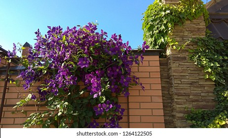 Vigorously flowering clematis on the top of a brick fence. Large clump of deep purple flowers gracefully cascades down a brick fence. Green vine elegantly climbs up around a brick fence entry pillar.