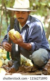 Villaflores, Tabasco/Mexico--January, 2008. Indigenous man harvesting cacao.