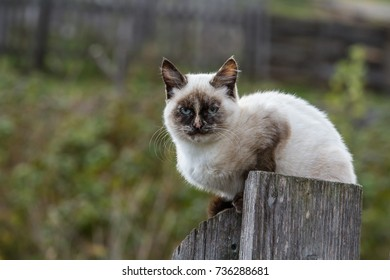 The village cat is waiting for the owners sitting on the fence