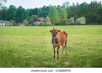 village of europa, a curious calf is watching