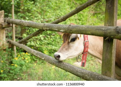 village of europa, a curious cow puts his head between the fissu