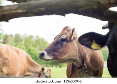 village of europa, a curious cow is watching