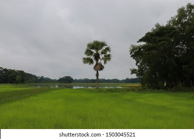 a village landscape bangladesh . green field and plum tree .