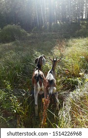 Village life.  Goats and their frends.