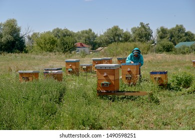 Village meadow with reach greenery and wooden bee houses, clustered among tall green grass, and beekeeper dressed in protective clothing, inspecting beehive on sunny summer morning.
