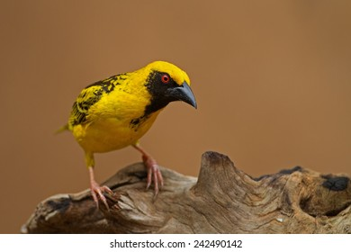 Village (Spottedbacked) Weaver perched on log; Ploceus cucullatus