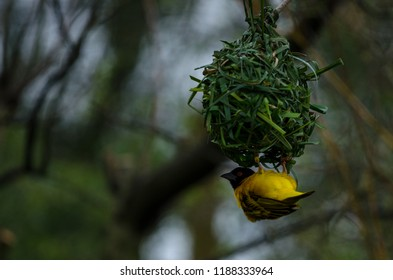 A village weaver bird clings to a woven nest