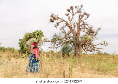 Village woman of Niger walking near beautiful ancient lone tree, transporting leaves to her farm. Travel to Niamey in Niger, West-Africa. Lifestyle of people in Sahara and Sahel near the Niger River.