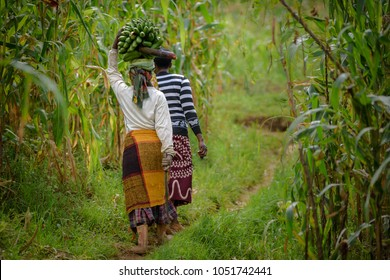 Village women walking with bananas and machete knife through the farm fields of Uganda. Villagers with bunch of bananas and big knife in Africa