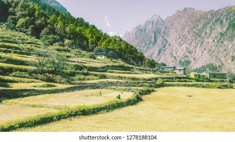 Villagers working in a wheat field. Alongside growing tourism, selling wheat is the main source of income in this part of the Himalayas. Manaslu Circuit Trek.