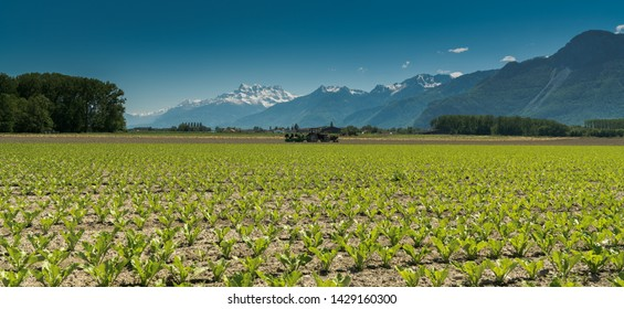 Villeneuve, VD / Switzerland - 31 May 2019: farmers planting a field with lettuce from the back of a tractor with no driver in the Rhone Valley with the Dents du Midi mountains in the background