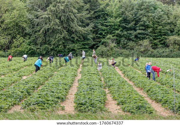 Villingen-Schwenningen, Germany, 06/20/2020 People pick strawberries themselves and have fun with their family and even picked strawberries taste better than bought ones.