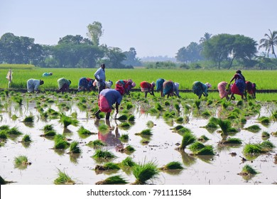 Villupuram, India - Dec 10 2017: Farmers transplanting the crops in farm field