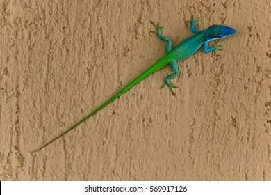 VINALES, CUBA - AUG 14 2012: A two coloured lizard with a very long tail. Image taken in Cuba, the lizard was lying on a wall.