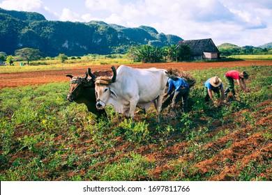 VINALES, CUBA - DECEMBER 14, 2019: Cuban farmer ploughing field with plough pulled by oxen on tobacco plantation.. The Vinales Valley (Valle de Vinales), Pinar del Rio, Cuba.