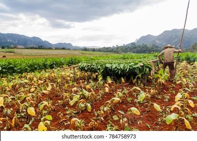 VINALES, CUBA - FEB 19, 2016: Tobacco farmer working on his field in Guasasa valley near Vinales, Cuba