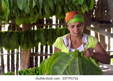 VINALES, CUBA - FEBRUARY 17:  Cuban woman working in a cigars factory.The woman touching tobacco leaves for production of the Cuban cigars