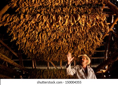 VINALES, CUBA - MARCH 02: Unidentified tobacco farmer shows his drying tobacco leaves in Vinales, on March 02, 2011. Cuba has the second largest area planted with tobacco in the world..