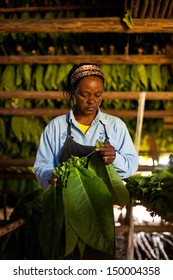 VINALES, CUBA - MARCH 04: Unidentified tobacco farmer prepares leaves to dry in Vinales, on March 04, 2011. Cuba has the second largest area planted with tobacco in the world..