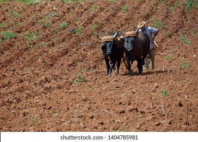 Vinales, Cuba - May 3, 2016: Old farmer plows his barren land with two oxen and a wooden plow