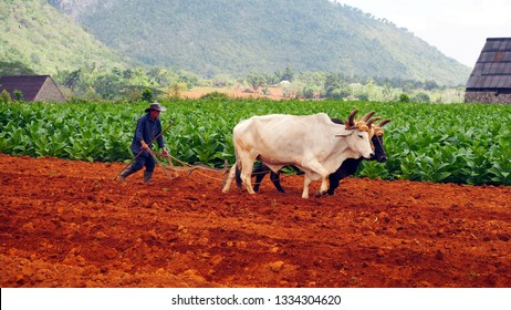 VINALES VALLEY, CUBA February 2017: Cuban farmer ploughing field with plough pulled by oxen on tobacco plantation.