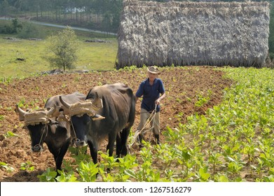 VINALES VALLEY,CUBA-APRIL 04,2016: Cuban farmer ploughing field with  plough pulled by oxen on tobacco plantation  with at the background his fermentable barn