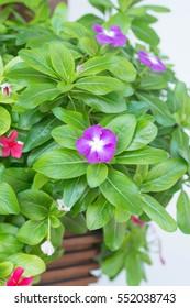 Vinca flower blooming