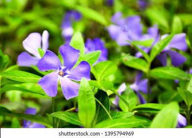 Vinca flower with blooming buds. Blue flowers periwinkle on the background of green leaves of plants. Beautiful flowers of vinca on background of green leaves. Vinca minor, small periwinkle in garden.