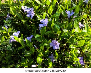 Vinca flower or Madagascar Periwinkle, Rose Periwinkle, Rosy Periwinkle, Catharanthus roseus.