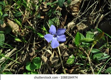 Vinca major (bigleaf periwinkle, large periwinkle, greater periwinkle, blue periwinkle) flower, grassand dry leaves background, close up detail