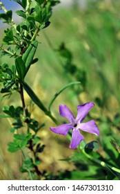 Vinca major (bigleaf periwinkle, large periwinkle, greater periwinkle, blue periwinkle) flower, grassand background, close up detail